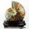 ฟอสซิล แอมโมไนต์มาดากัสการ์ ลายเฟิร์นขนาดใหญ่(Ammonite) (1087g)