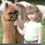 ตุ๊กตาตัว อัลปาก้า - alpaca มีให้เลือก 8 สี thumbnail 5